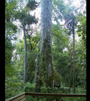 2000-year-old Florida tree to be scaled for archive sample - Picture