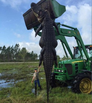 Giant 15-foot alligator feasting on cattle killed in Florida (Video)
