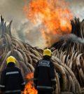 Kenya Burns Largest Ever Ivory Stockpile (Video)