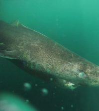 Greenland Sharks May Live 400 Years, Says New Research