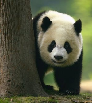 Giant panda taken off endangered species list, experts say