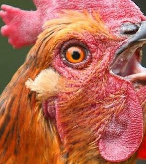 Stop kissing your chickens, you're causing salmonella outbreaks
