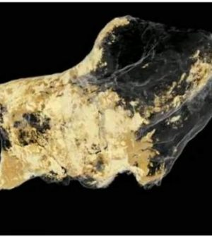 Fossilized Dinosaur Brain Tissue Identified, says new research