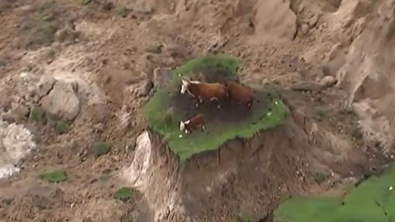 Stranded cows rescued after quake in New Zealand