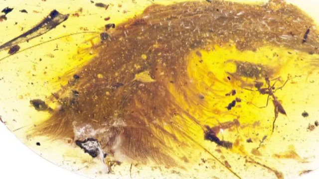 Researchers find a feathery dinosaur tail trapped in amber
