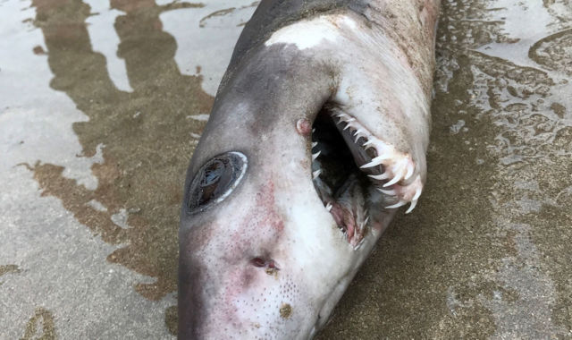 Crocodile shark spotted on Devon beach for first time in history (Picture)