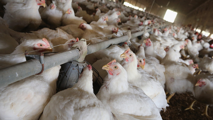 Tennessee 'bird flu' outbreak no risk to people, but watch chickens