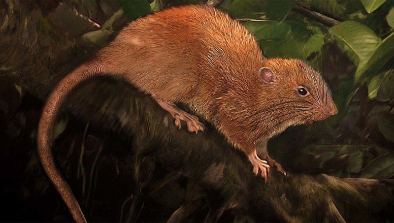 Giant Rat Species Discovered In Solomon Islands (Photo)