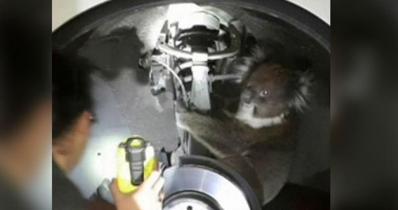 Koala Survives 10-Mile Trip Under Car (Watch)