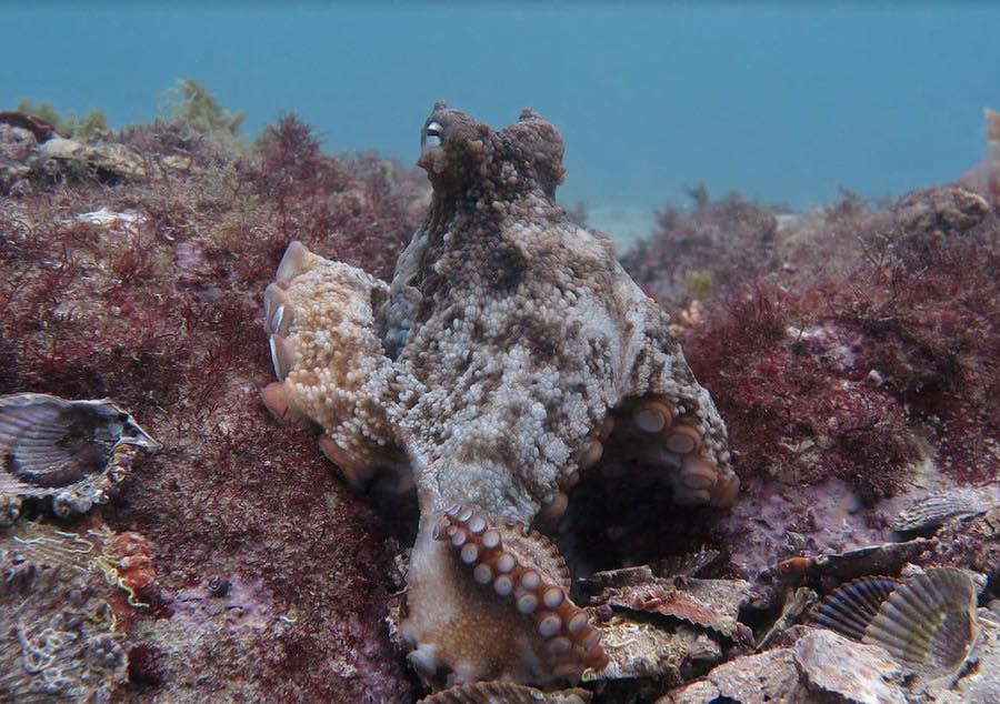 Scientists discover an 'octopus city' off the coast of Australia