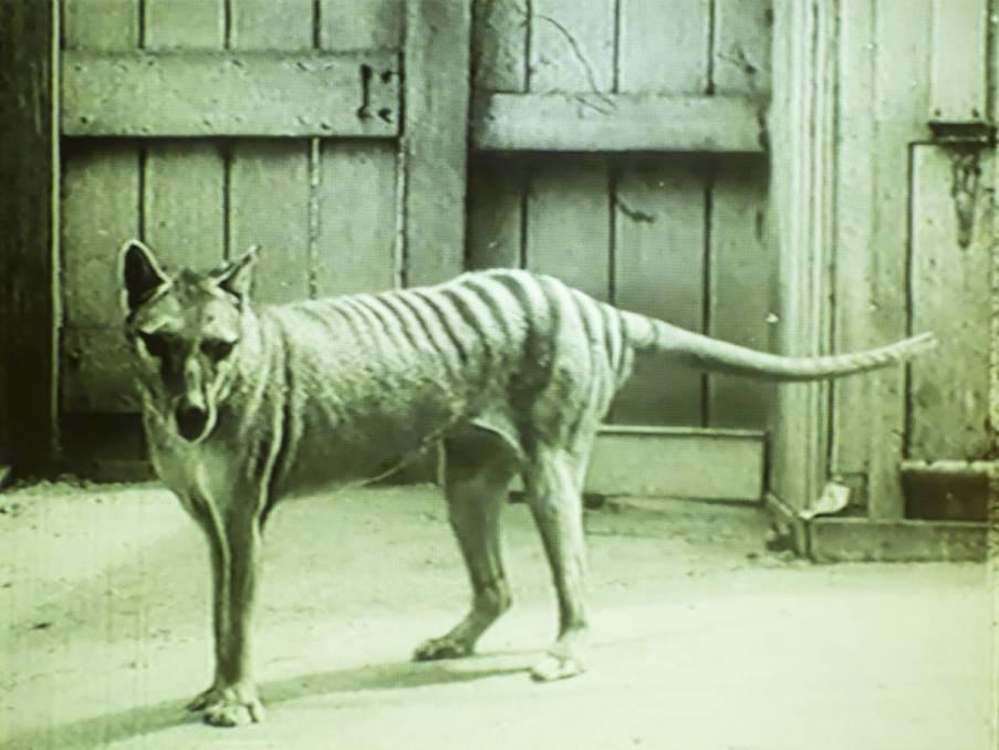 Tasmanian Tiger Mystery Solved (Study)