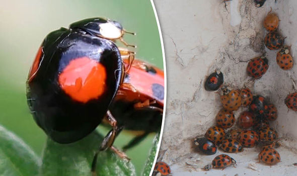 Ladybirds With STDs Are Invading UK