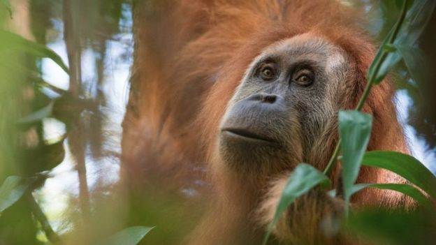 New great ape species found, and is already endangered