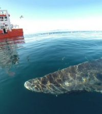 512-year-old Greenland shark may not be as old as we were led to believe