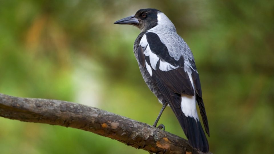 Magpie Wins Bird Of The Year