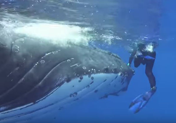 Humpback whale protects diver from shark during South Pacific dive (Watch)