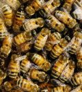 Lowa boys 'kill half a million bees'