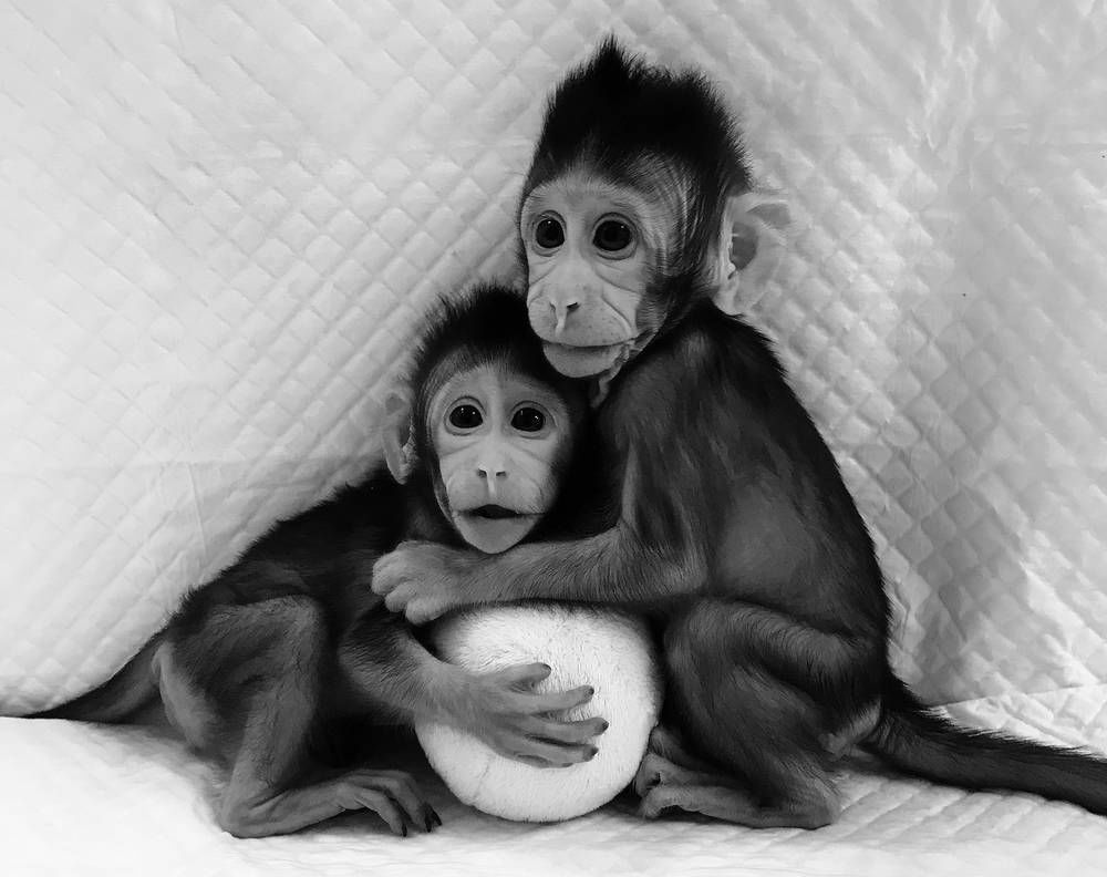 Scientists clone monkeys from fetal cells, raising qualms about human cloning