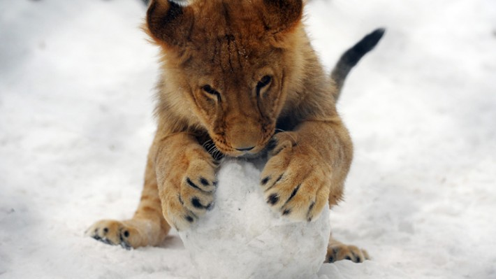 Swedish Zoo 'kills nine healthy lion cubs because they didn't fit in'