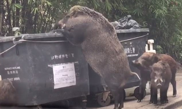 Wild Boar eat from garbage bin near school (Watch)