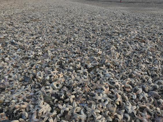 Dead starfish wash up on UK Beach