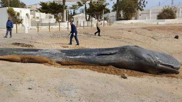 Dead sperm whale found with 30kg of plastic in its stomach (Photo)