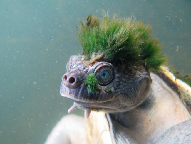 Punk Turtle added to list of endangered reptiles news