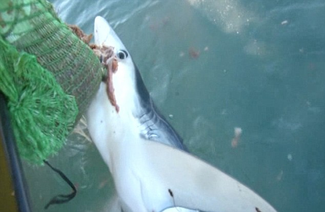 Cornwall shark attack: fisherman in dramatic rescue after shark bite (Video)