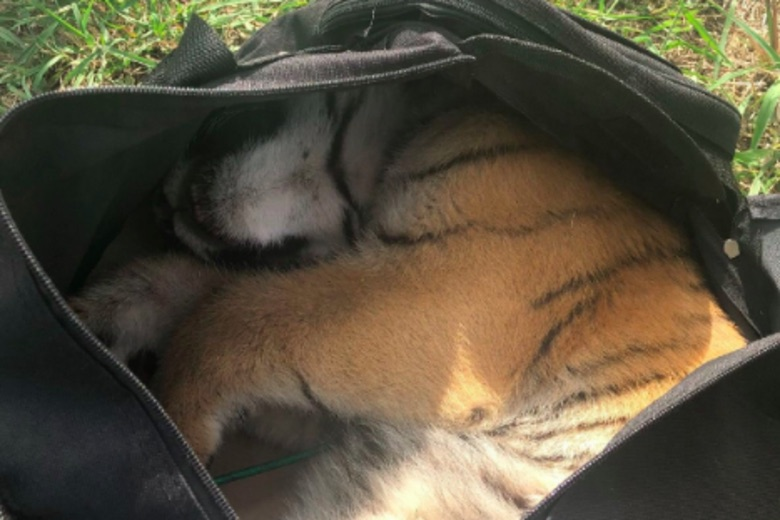 Tiger Cub In Bag? 10News Border officials: Agents discover tiger inside abandoned at US-Mexico border
