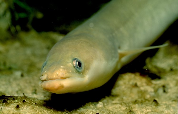Eels Get High on Cocaine, Says New Research