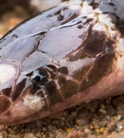 New poisonous Snake Discovered In Australia, but it's in Danger