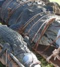 Rangers capture crocodile weighing 600 kg (Photo)