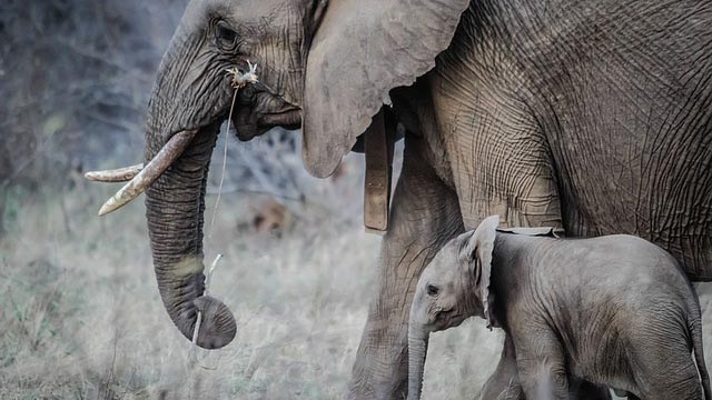 Elephants' 'zombie gene' protects them from cancer, says new research