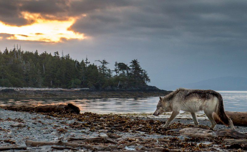 Dog killed by wolves at popular beach, Report