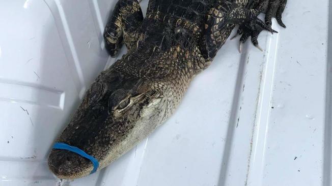 Alligator in Lake Michigan? Kayaker finds small alligator (Watch)