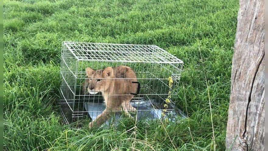 Netherlands: Jogger spots a lion cub in a field on his Sunday run