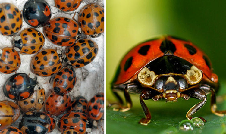STD-carrying ladybirds are back and invading our homes, Details