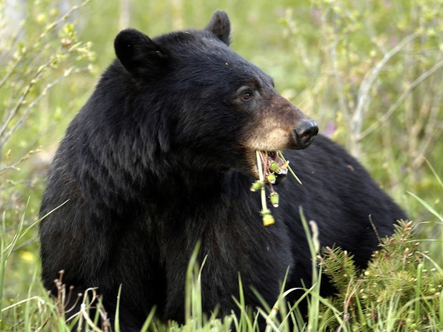 Whistler bear falls to death after being tranquilized in tree, Report