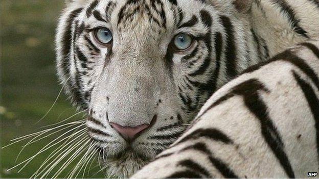 White tiger kills zookeeper at Kagoshima zoo in Japan