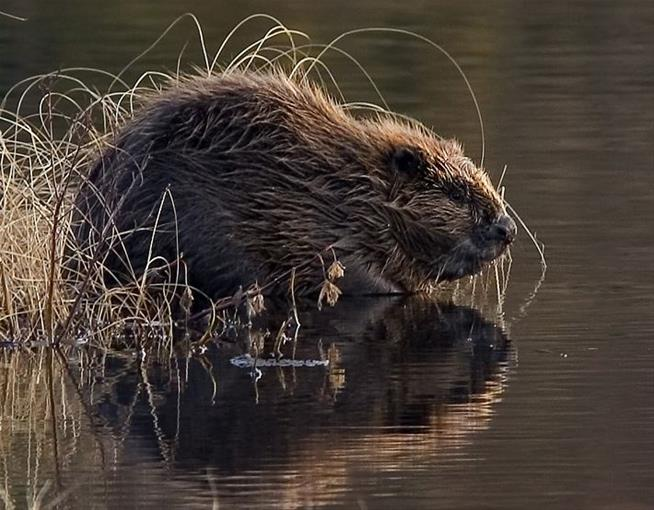 Beavers Return to Italy After 500 Years (Reports)