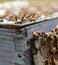 Vaccine for honey bees seeks to save dying pollinators (Reports)